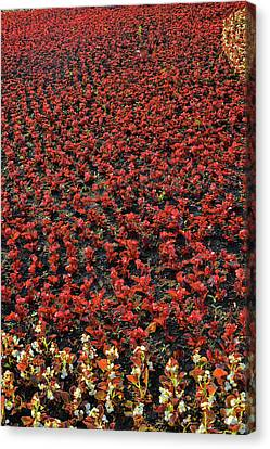 Flower Carpet. Canvas Print by Andy Za