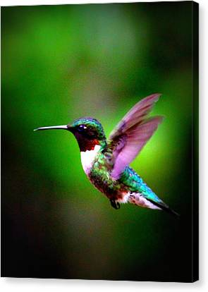 1846-007 - Ruby-throated Hummingbird Canvas Print
