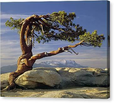1m6701 Historic Jeffrey Pine Sentinel Dome Yosemite Canvas Print