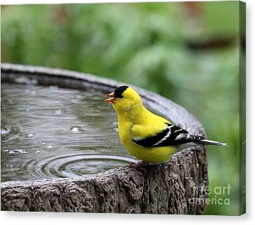 American Goldfinch Canvas Print by Jack R Brock