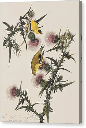 American Goldfinch Canvas Print by John James Audubon