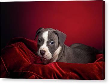 American Pitbull Puppy Canvas Print