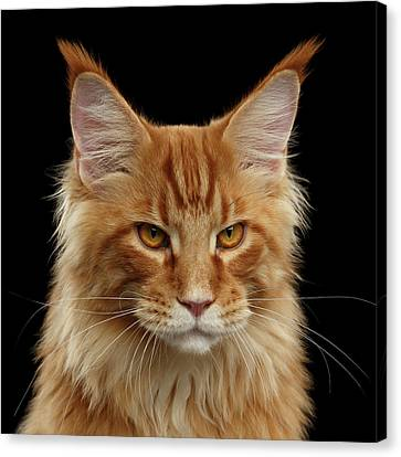 Angry Ginger Maine Coon Cat Gazing On Black Background Canvas Print by Sergey Taran
