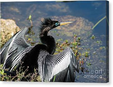 Anhiinga Canvas Print by Carol Ailles