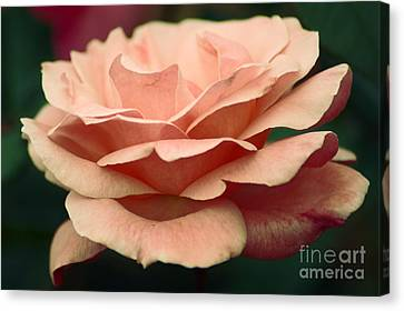 Antique Rose Canvas Print by Donna Bentley