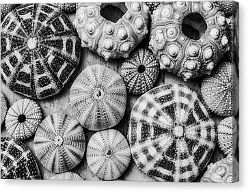 Assorted Sea Urchins Canvas Print