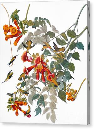 Audubon: Hummingbird Canvas Print by Granger