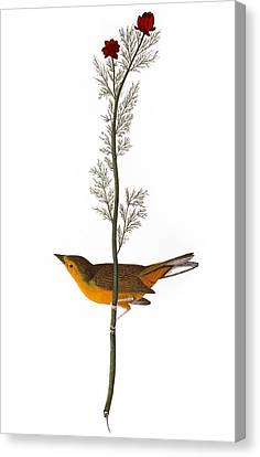 Audubon: Warbler, (1827) Canvas Print by Granger