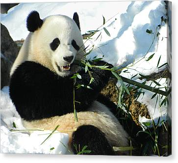 Bao Bao Sittin' In The Snow Taking A Bite Out Of Bamboo1 Canvas Print
