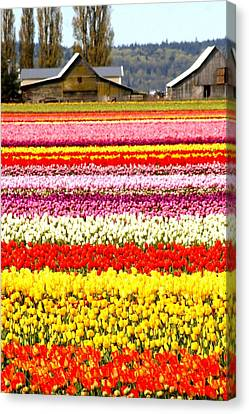 2 Barns And A Field Of Tulips Canvas Print by Karla DeCamp