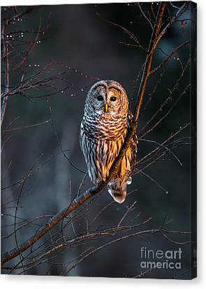 Barred Owl Tall Canvas Print by Benjamin Williamson