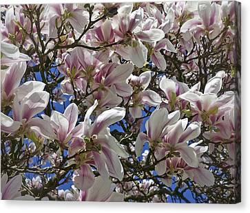 Blossom Magnolia White Spring Flowers Photography Canvas Print by Artecco Fine Art Photography