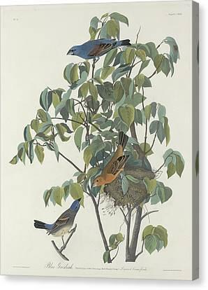 Audubon Canvas Print - Blue Grosbeak by Dreyer Wildlife Print Collections