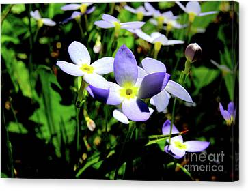 Bluets Canvas Print