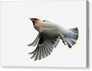 Canvas Print featuring the photograph Bohemian Waxwing  by Mircea Costina Photography
