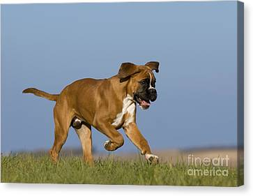 Dog At Play Canvas Print - Boxer Puppy by Jean-Louis Klein & Marie-Luce Hubert