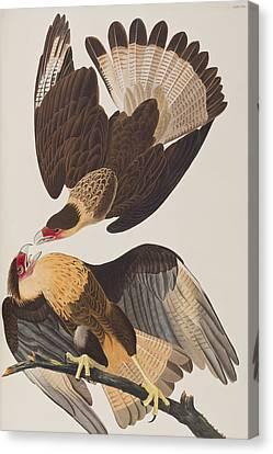 Brasilian Caracara Eagle Canvas Print by John James Audubon