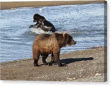 2 Brown Bears Fishing Canvas Print by David Wilkinson