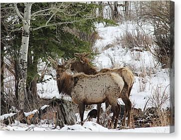 2 Bull Elk In May Snowstorm Canvas Print by David Wilkinson