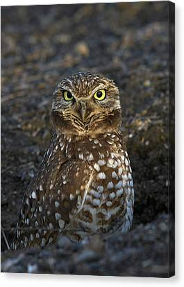 Burrowing Owl Canvas Print by Doug Herr