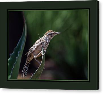 Cactus Wren 2932 Canvas Print by Tam Ryan