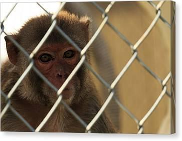 Caged Monkey Canvas Print