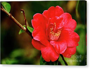 Camellia Japonica Canvas Print