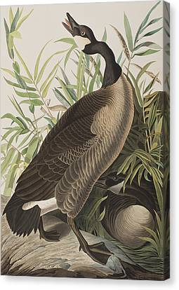 Canada Goose Canvas Print by John James Audubon
