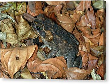 Canvas Print featuring the photograph Cane Toad by Breck Bartholomew