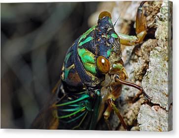 Cicada Canvas Print