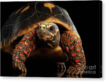 Close-up Of Red-footed Tortoises, Chelonoidis Carbonaria, Isolated Black Background Canvas Print