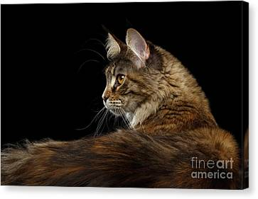 Closeup Maine Coon Cat Portrait Isolated On Black Background Canvas Print by Sergey Taran