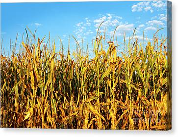 Corn Field Canvas Print by Carlos Caetano