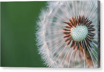 Canvas Print featuring the photograph Dandelion by Bess Hamiti
