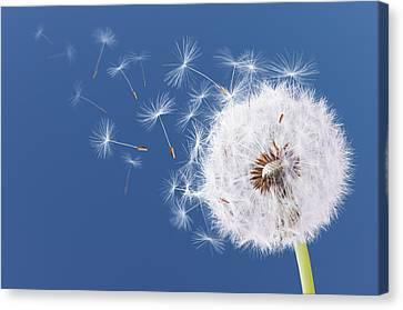 Dandelion Flying On Blue Background Canvas Print