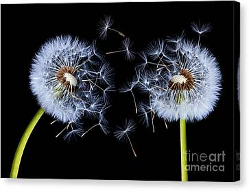 Canvas Print featuring the photograph Dandelion On Black Background by Bess Hamiti
