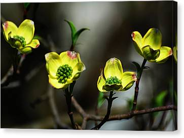 Dogwood Blossoms Canvas Print by Kathleen Stephens