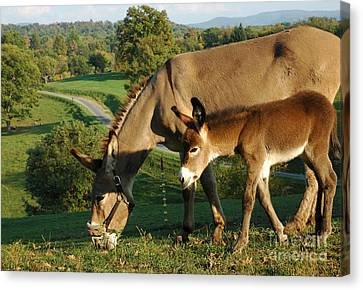 Donkey With Foal Canvas Print by Thomas R Fletcher