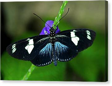Doris Longwing Butterfly Canvas Print
