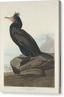 Double-crested Cormorant Canvas Print by Rob Dreyer