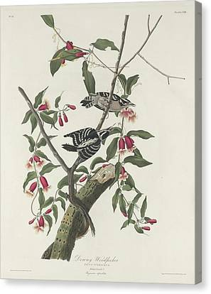 Downy Woodpecker Canvas Print by Anton Oreshkin