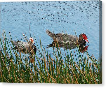 Canvas Print featuring the photograph 2- Ducks by Joseph Keane