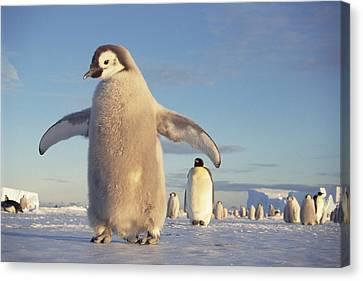Emperor Penguin Aptenodytes Forsteri Canvas Print by Tui De Roy