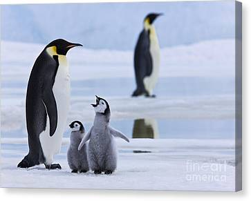 Emperor Penguins And Chicks Canvas Print by Jean-Louis Klein & Marie-Luce Hubert