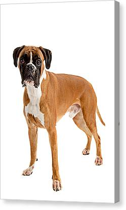 Fawn-colored Boxer Canvas Print