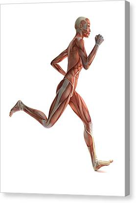 Female Muscles, Artwork Canvas Print