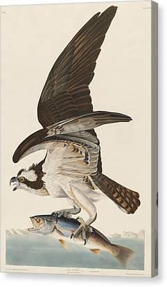 Prey Canvas Print - Fish Hawk by Dreyer Wildlife Print Collections