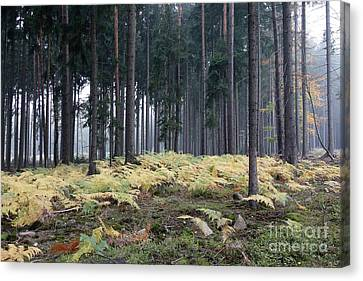 Fog In The Forest With Ferns Canvas Print by Michal Boubin