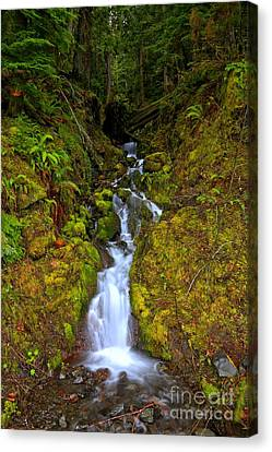 Streaming In The Olympic Rainforest Canvas Print by Adam Jewell