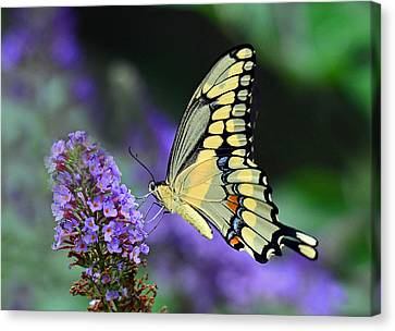 Canvas Print featuring the photograph Giant Swallowtail by Rodney Campbell